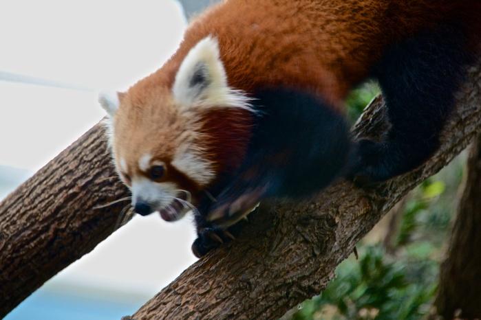 A red panda.