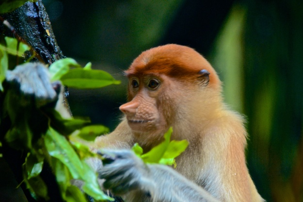 A proboscis monkey..he will grow more nosey with time.