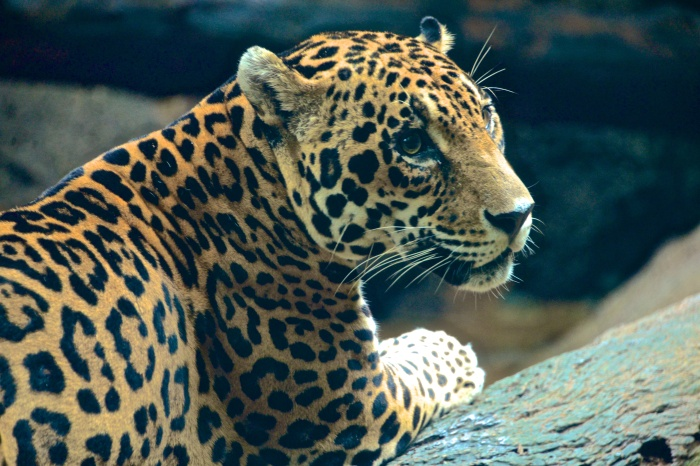 A jaguar..my patience was rewarded with this pose.